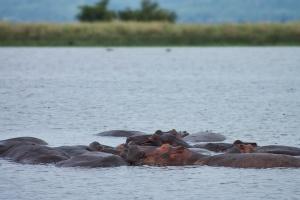 Hippos dans l'eau, au parc national Murchison Falls