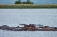 Hippopotames / Hippopotamus
