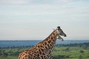 Girafes / Giraffes
