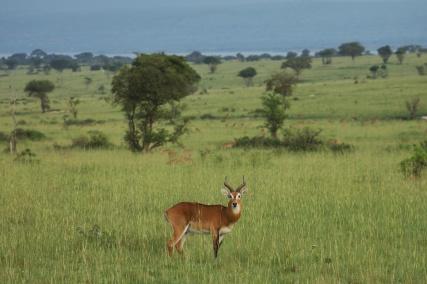 Cobe de Buffon / Uganda kob