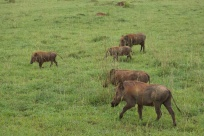 Phacochères / Warthogs