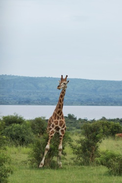 Girafe top-model