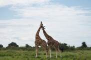 Girafes / Giraffes (mon moment préféré)