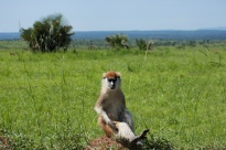 Patas / Patus monkey