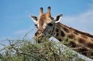 Girafe / Giraffe