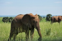 Éléphants d'Afrique / African elephants
