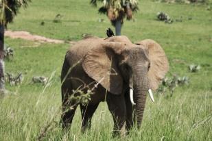 Éléphant d'Afrique / African elephant ... et ses copains oiseaux