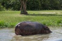 Hippopotame / Hippopotamus oh, et aussi un petit crocodile du Nil caché