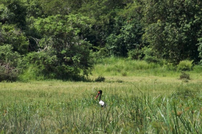 Jabiru d'Afrique / Saddle billed stork