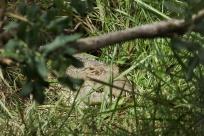 Crocodile du Nil / Nile crocodile