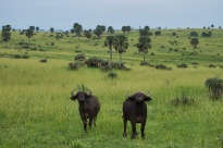 Buffle d'Afrique / African buffalo