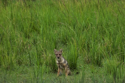 Chacal à flancs rayés / Side-striped jackal